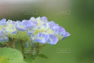 咲き始めの写真・画像素材[1295096]