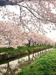 桜の写真・画像素材[588021]