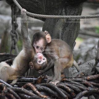 猿の写真・画像素材[607942]