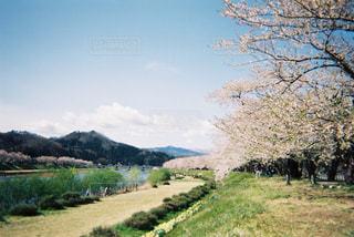 桜並木の写真・画像素材[607962]