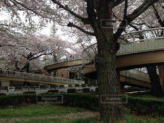 桜の写真・画像素材[594793]