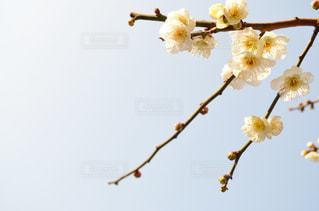 梅の花の写真・画像素材[946857]