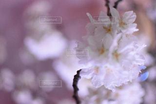 春の写真・画像素材[588700]