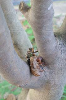 さなぎから成虫になるセミの写真・画像素材[1351294]