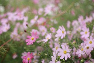 ピンクのコスモスの写真・画像素材[1570707]