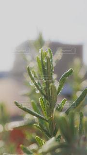 癒しのローズマリーの写真・画像素材[1707589]