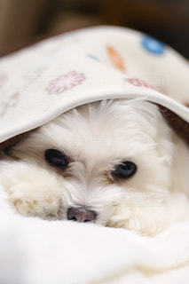 犬の写真・画像素材[594202]