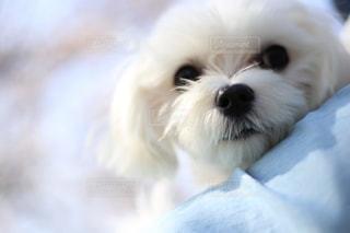 犬の写真・画像素材[595775]