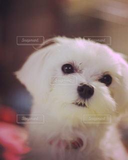 犬の写真・画像素材[595780]