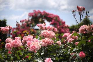 近くの花のアップの写真・画像素材[768782]