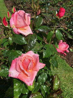 薔薇の写真・画像素材[598113]