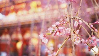 桜の季節の写真・画像素材[1291229]