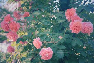 薔薇の香りの写真・画像素材[2169838]