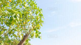 レモンの木の写真・画像素材[2506526]