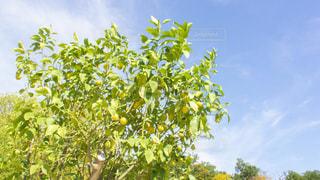レモンの木の写真・画像素材[2506529]