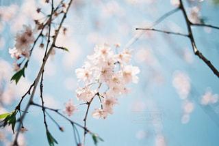 フィルムカメラで撮影した桜の写真・画像素材[2840958]