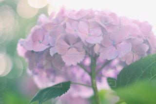 紫の写真・画像素材[595236]