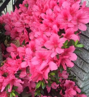 ピンクの写真・画像素材[613253]