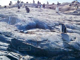 海の近くの岩の上のシールの写真・画像素材[1152546]