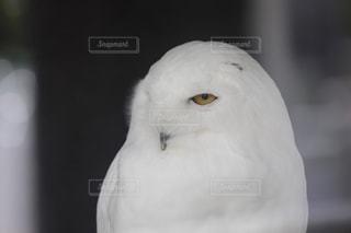 フクロウの写真・画像素材[596065]