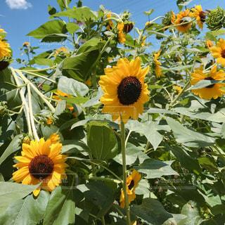 花の写真・画像素材[596097]