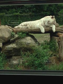 ウィンドウの横で眠っている猫の写真・画像素材[762885]