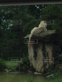 草の中に立っているタイガーの写真・画像素材[762886]