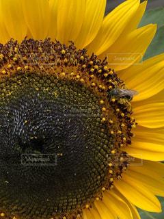 ひまわりと蜂の写真・画像素材[2399700]