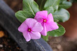 ピンクの花の写真・画像素材[3095310]
