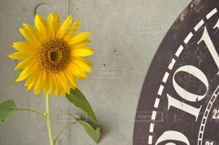 黄色 一眼レフ 向日葵 宝物 Nikon D5100の写真・画像素材[648976]