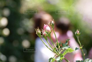 親子とバラの写真・画像素材[933583]