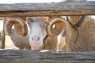 こちらをじっと見る羊さんの写真・画像素材[933600]