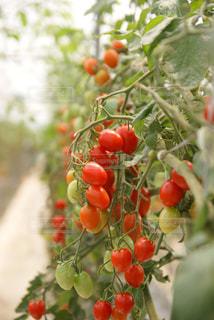 トマト狩りの写真・画像素材[934118]