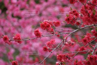 咲き誇るピンク色の花々の写真・画像素材[934612]
