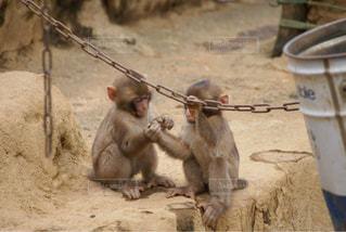 赤ちゃん猿の兄弟 - No.934618