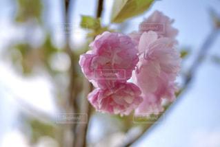 柔らかい色の桜の写真・画像素材[961138]