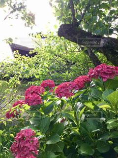 アジサイ  ピンク  あざやか  梅雨  花の写真・画像素材[600834]