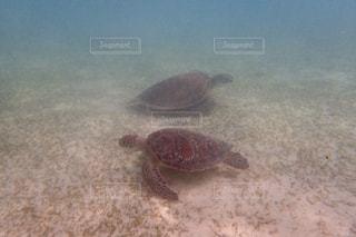 ウミガメ  ペア  水中  海  沖縄の写真・画像素材[601011]