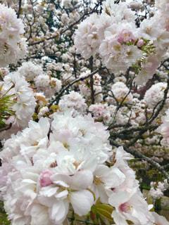 桜  ピンク  丸い  白  かわいい  春の写真・画像素材[601040]