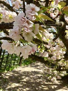 桜  散歩  満開  ピンク  白  かわいい  春の写真・画像素材[601043]