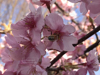 桜と蜂の写真・画像素材[1034295]