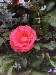 花の写真・画像素材[602529]