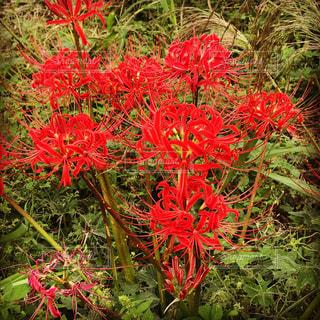 鮮やかな赤い秋の花の写真・画像素材[764181]