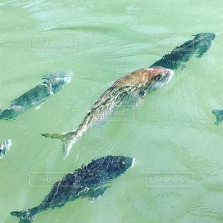 お堀で泳ぐ鯛たちの写真・画像素材[797779]