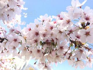 桜の接写 - No.1096471