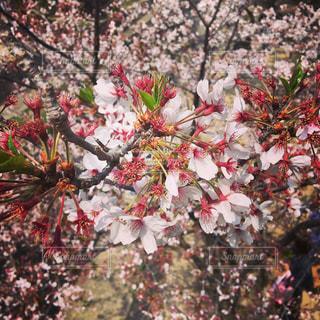 桜の接写 - No.1101490