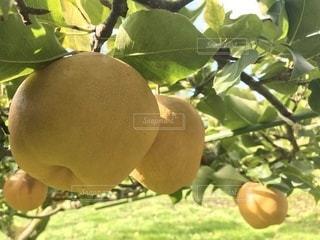アップの梨の写真・画像素材[895907]