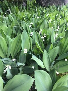 密集して咲いてるすずらんの写真・画像素材[1169266]