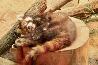 レッサーパンダの寝顔の写真・画像素材[1449059]