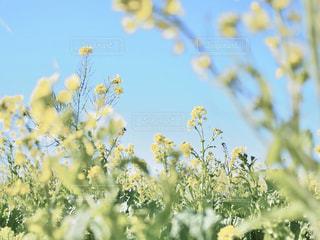 菜の花畑の写真・画像素材[2840610]